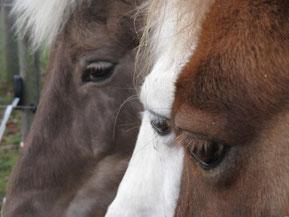 Das Auge eines Pferdes