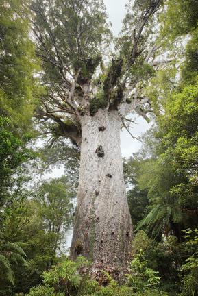 Bild von https://upload.wikimedia.org/wikipedia/commons/3/33/%27Lord_of_the_Forest%27_Tane_Mahuta.jpg