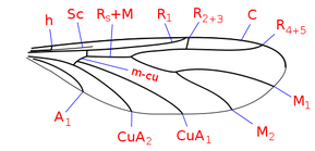 Wing veins of Canthyloscelidae