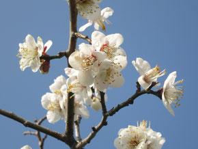 五台山では梅の花が満開