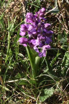 Kleines Knabenkraut - Anacamptis morio; eine früh blühende Orchidee auf trockenen bis wechselfeuchten Magerwiesen (G. Franke, Ittersbach 20.04.2019)