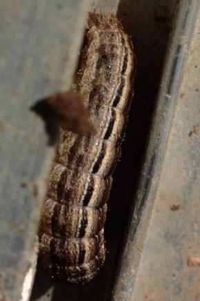 Raupe eines Eulenfalters, wahrscheinlich der Gattung Mythimna, an Frühbeetrahmen im Garten (G. Franke, 28.02.2021)