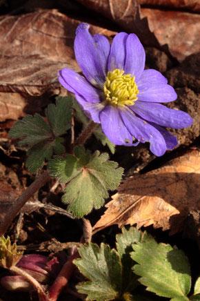 Frühling im Garten - Balkan-Windröschen - Anemone blanda (G. Franke, 20.02.2021, Spielberg)