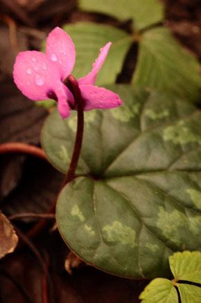 Vorfrühlings-Alpenveilchen - Cyclamen coum; blühend im Garten; bei uns als Zierpflanze, heimisch vom Schwarzen Meer bis ins nördliche Israel; selten auch verwildert  (G. Franke, Spielberg, 06.02.2021)