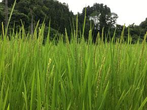 8月中旬 稲に穂が付きはじめました。
