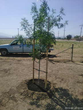 An Ash Tree successfully planted