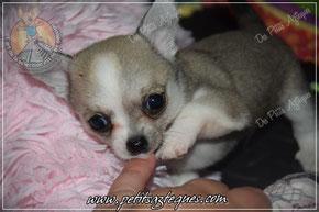 Eleveur de chien nain couleur gris (bleu)