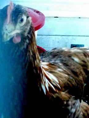 Huhn im Stall