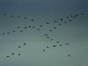 Vogelschwarm 6, 60 x 80 cm, Öl auf Leinwand, 2010