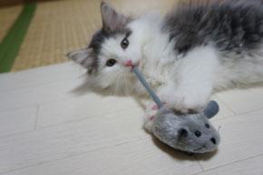 ノルウェージャンフォレスト 子猫ちゃん