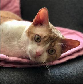 German Rex Cat Tomcat
