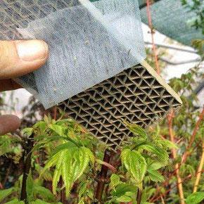 Mittel gegen Blattläuse - Florfliegenlarven [Chrysoperla Carnea] können ebenfalls gegen einen Befall durch Blattläuse eingesetzt werden.