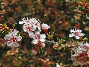 Kanuka in flower