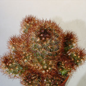 "Mammillaria elongata cv. ""COPPER KING"""