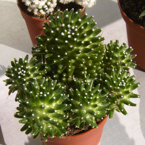 Mammillaria ( bocasana ? ) cv. CATERPINCY