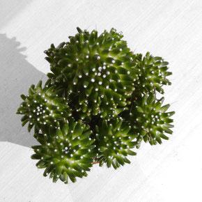 Mammillaria ( bocasana ? ) cv. CATERPINCY