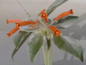 Rechsteineria leucotricha inflorescence (Sinningia)