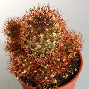 "Mammillaria elongata cv. ""COPPER KING"""