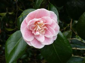 Camellia Duchesse de Caze