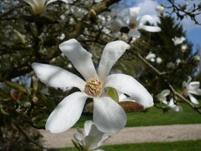 Magnolia stellata:flower