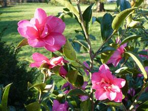 """Camellia sasanqua """"Hiryu"""""""
