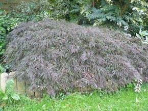 Acer palmatum dissectum rubrum