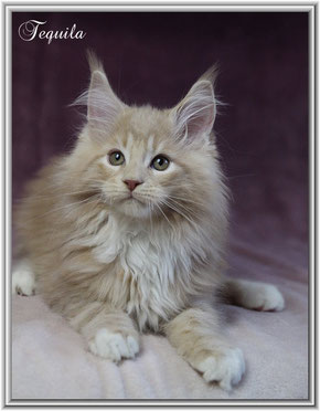 Maine coon Kater Tequila cream