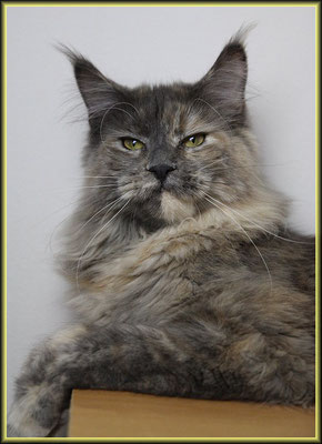 Katze Maine Coon
