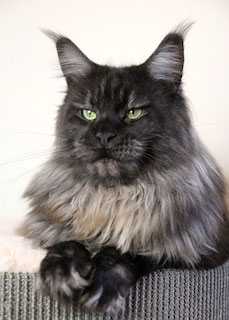 Maine Coon black smoke