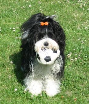 Tibet Terrier Hündin Ashima du joyeux Berger