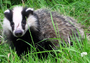Brock the badger is looking for food.