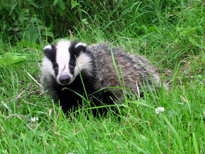 Badger detterent information
