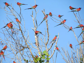 Madagascar Bee Eaters, Ramisi River