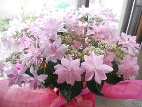 サプライズでいただいた紫陽花「ダンスパーティー」。その名の通り、心躍るような素敵なお花!