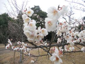 二月になり、今日は立春。穏やかな陽気でした。梅の花もそろそろ満開。