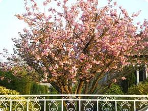Prunus en fleurs - Aumont