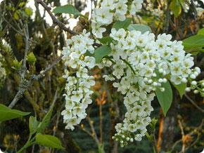 Haie fleurie - Aumont