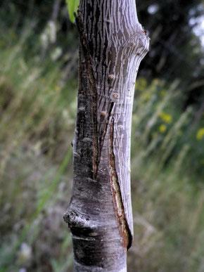 Greffe à l'anglaise: Cerisier sur Prunus Mahaleb