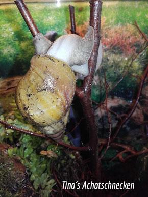 Die Achatina fulica kann überall hin kriechen und erobert alle Stockwerke im Baum. https://www.tinas-achatschnecken.de/