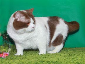 Masson-Club питомник кошек