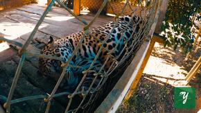 otorongo jaguar selva iquitos