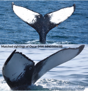 Whale fin for photo ID