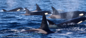 Dorsal fin ID photos of Orcas for Happy Whale
