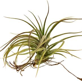 Tillandsia califano ( Tillandsia baileyi x Tillandsia ionantha )