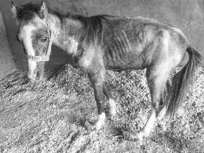Starving pony Valiente before rehabilitation