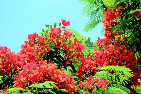 降り注ぐ強い日差しを浴びて、オレンジ色の花を咲かせるホウオウボク=18日午後、石垣市大川