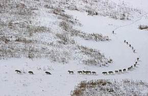 Timberwölfe - Screenshot The Guardian BBC Frozen Planet - Photograph Chadden Hunter BBC NHU
