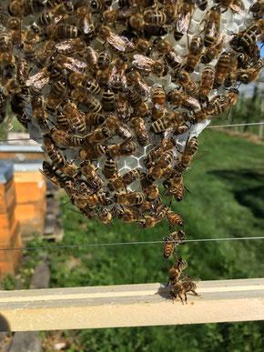 Bienen bei der Bienenwachs-Produktion und Wabenbau