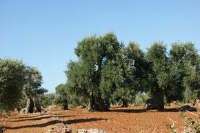 Olivenbäume bei Taranto