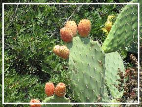 Kaktusfeige ©www.balanceYou.ch